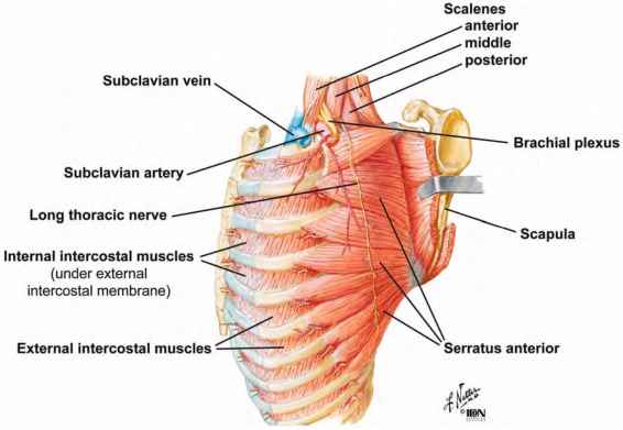 4415_20_16-external-intercostal-muscle